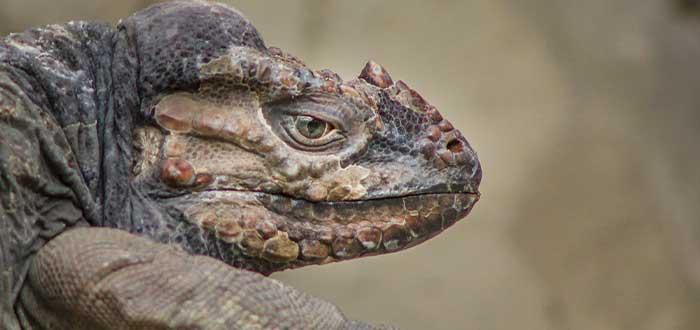 datos curiosos de republica dominicana la iguana rinoceronte