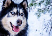 Curiosidades del Husky siberiano