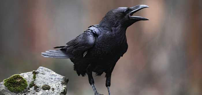 la comunicacion de los cuervos