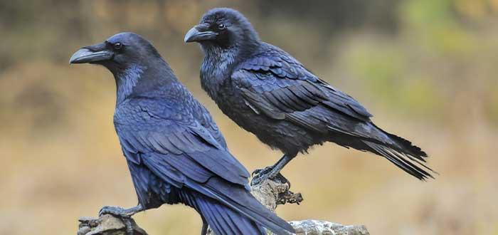 la inteligencia de los cuervos su interaccion socia