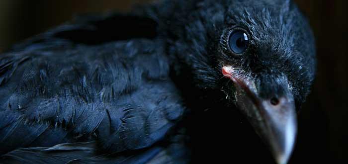 los cuervos pueden recordar