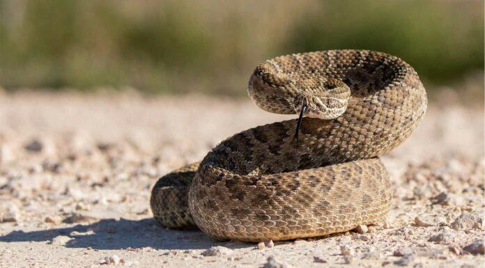 datos curiosos de la serpiente de cascabel