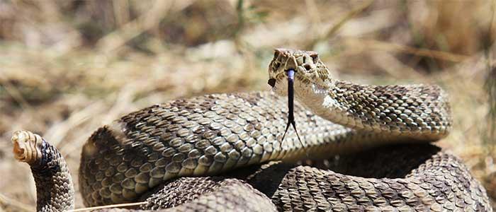 la leyenda de la serpiente de cascabel